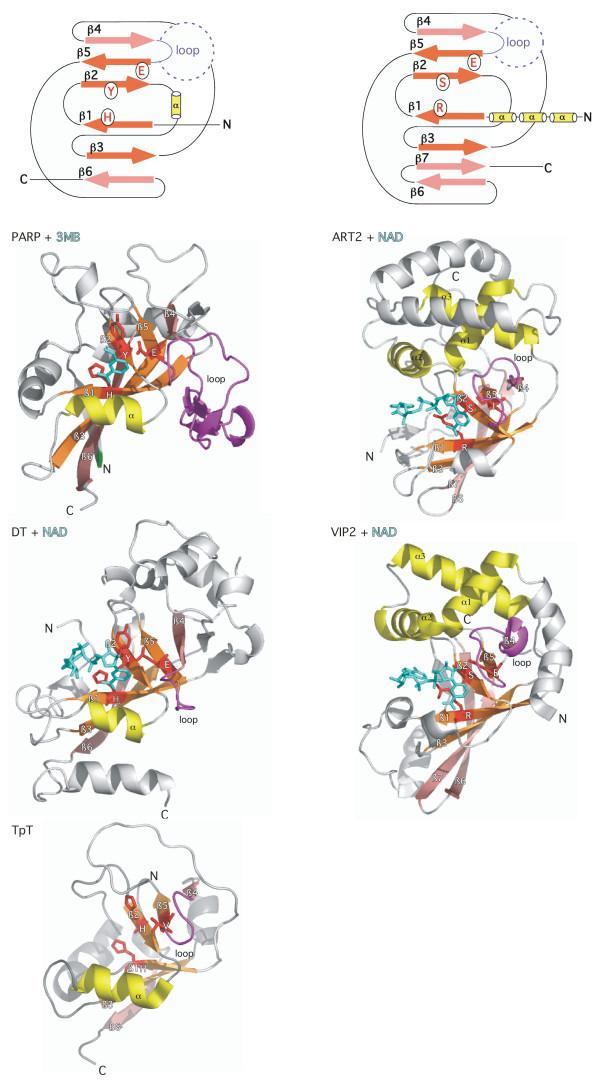 Tyro3 Antibody Tyrosine Protein Kinase Receptor Tyro3