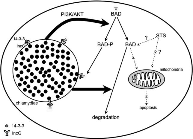 Recruitment Of Bad By The Chlamydia Trachomatis Vacuole Correlates