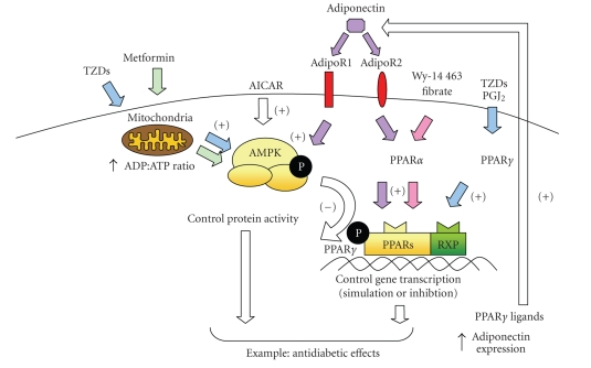 Role Of The Peroxisome Proliferator Activated Receptors