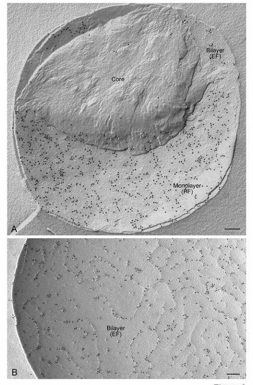 Запрограммированные перестройки генетического материала в онтогенезе