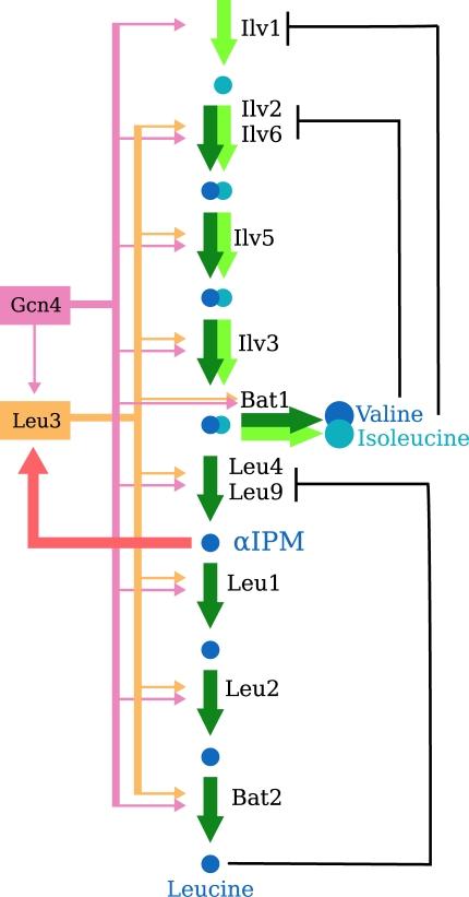 Isoleucine Valine Biosynthesis Isoleucine Biosynthesis