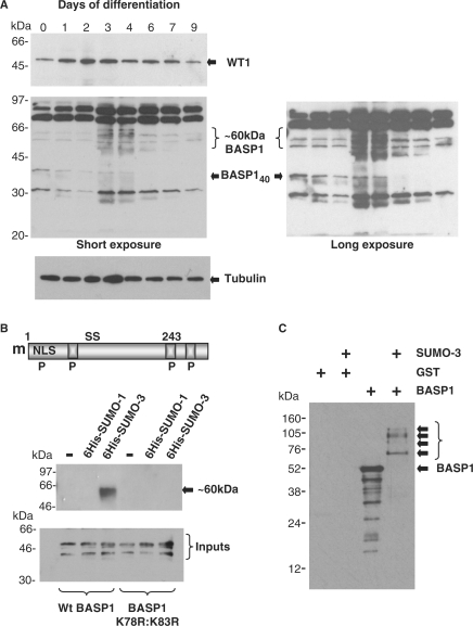 Dynamic interaction between WT1 and BASP1 in