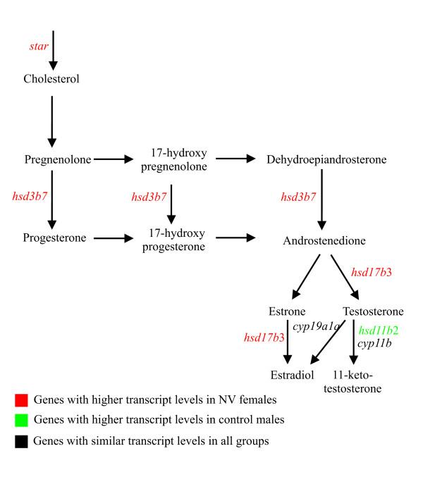 human steroidogenic acute regulatory protein