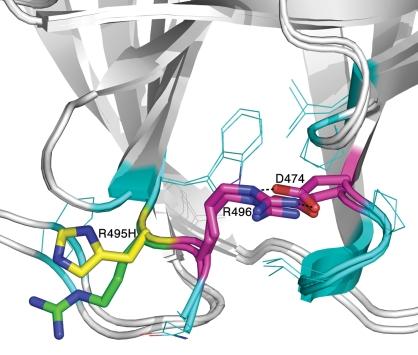 Characterization of gene activated human acid glucosidase