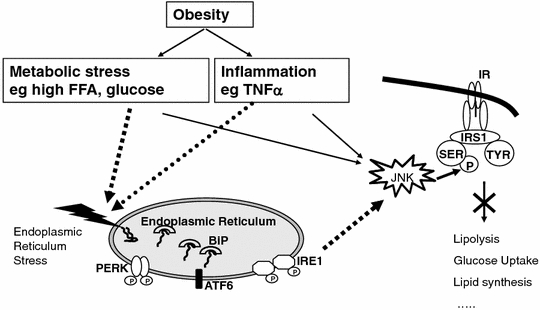 the role of insr and irs-1 phosphorylation essay Insulin leads to increased irs-1 serine phosphorylation and, to a lesser  data  point to an important role of irs-1 serine/threonine phosphorylation in the  in  summary, in the present work, we were interested in studying the.